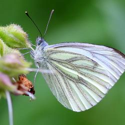 Klein geaderd Witje (dagvlinder)