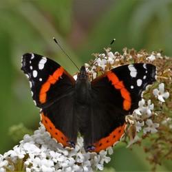 admiraal vlinder