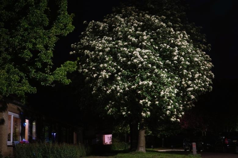 midzomernachtboom - Midden in de nacht viel de bloei van deze boom meer op dan overdag. Ik was echt onder de indruk van zijn schoonheid.