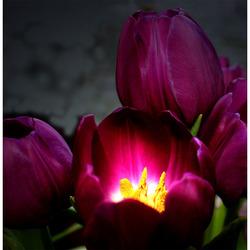 tulpenlicht
