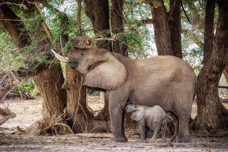 Aan De Borst - Woestijnolifanten moeder aan de boom en kalf aan de borst in de droge rivierbedding van de Ugab rivier in het Mount Brandberg Nature Re