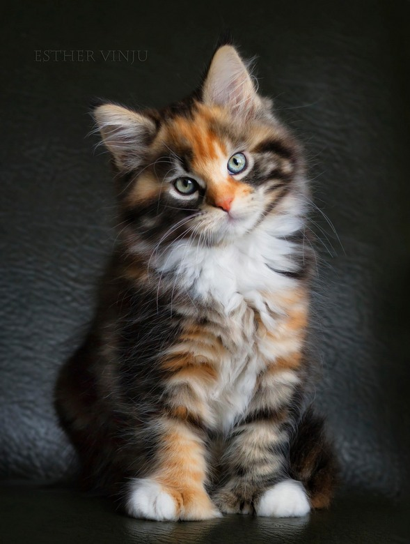 The Rebel - Polydactyl Maine Coon kitten<br /> <br /> http://www.polyroidcattery.com