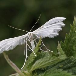 Witte Vedermot