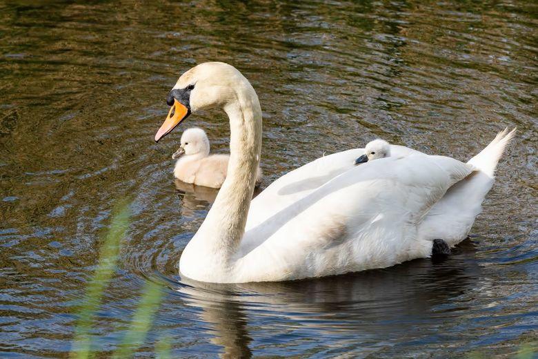 trotse mama - Trotse mama zwaan met 2 van de 5 jongen, eentje vaart heerlijk mee op haar rug.
