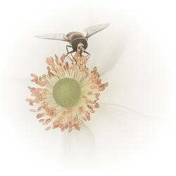 Anemoon met insect (bewerking)