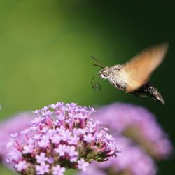 Kolibrievlinder in actie