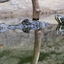 Krokodil met schildpad op rug
