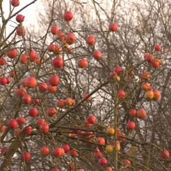 Vergeten appels.