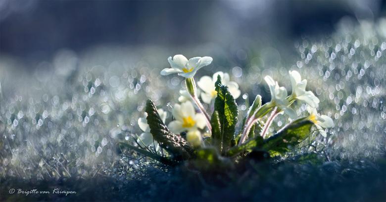 Spring bling - Een vaak vergeten stinze voorjaarsbloeier Lage wilde primula<br /> <br /> Helios impressie