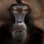 Gelada close up