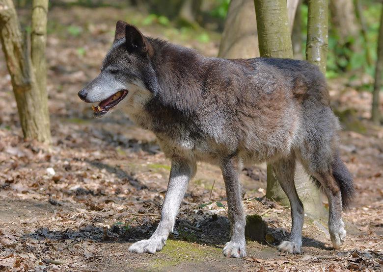 Hij is terug....de Wolf! - In de afgelopen jaren zijn al enkele in het wild levende wolven gezien in Nederland. De komende jaren zullen we zeker te ma