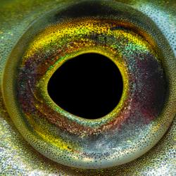 Snoek oog