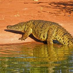 Krokodil in het Sebatana Prive Reserve