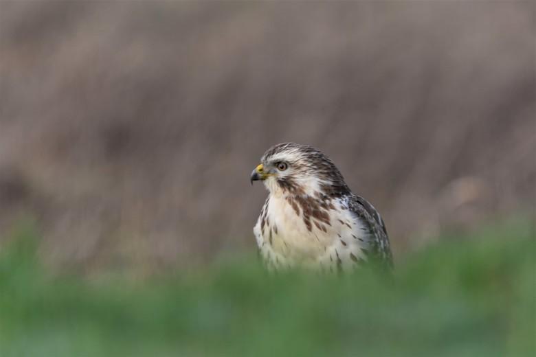 Buizerd op de dijk - eindelijk een keer op een redelijke afstand in het open veld.<br /> Allen bedankt voor het kijken reageren stemmen en anoniem be