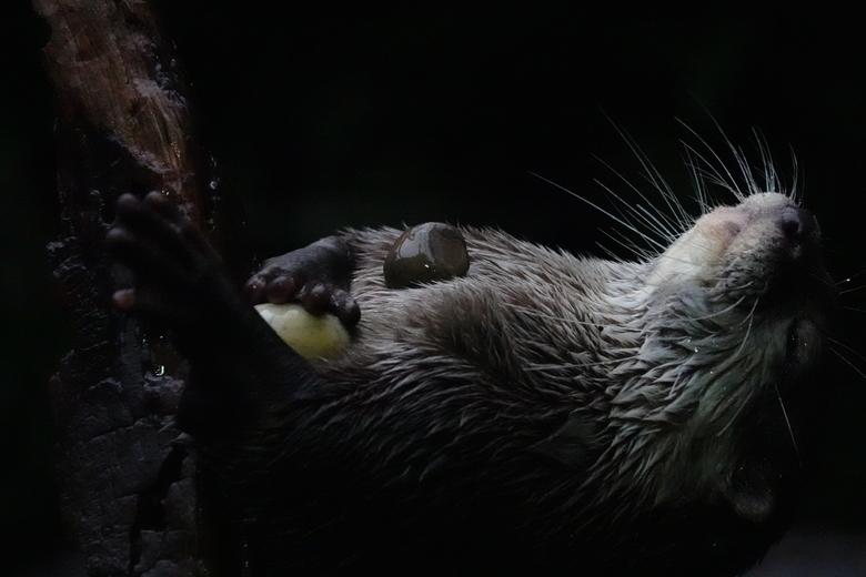 spelende otter - Otter spelend met 2 stenen