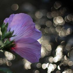 hibiscusvangnet