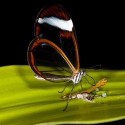 Vlinder artis 5