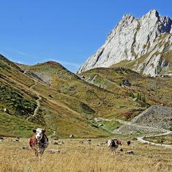 Nieuwsgierige runderen in Val Vény (italië)