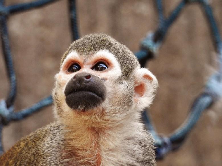 Doodskop aapje -