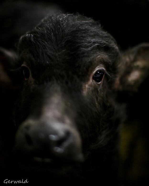 Buffel kalf - Vandaag deze prachtige beesten van heel dichtbij mogen fotograferen.<br /> <br /> Iedereen bedankt voor de fijne reacties op mijn vori