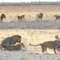 Leeuwen Paring