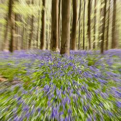 blauwe hyacint.