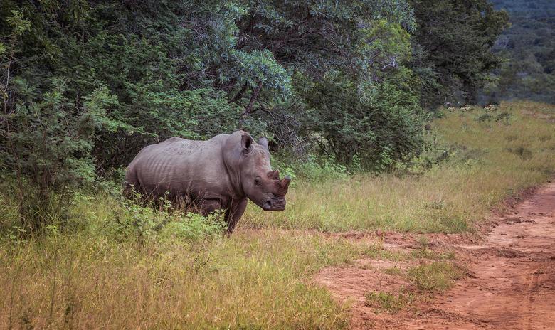 Neushoorn safari Afrika - Deze foto gemaakt tijdens safari in Zuid afrika
