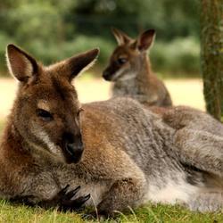 Kangoeroe met jong