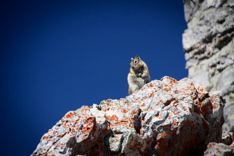 Eekhoorn - Een eekhoorn in Banff