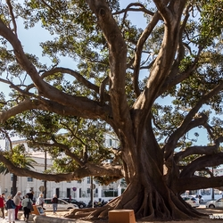 Ficus 1000 jaar oud