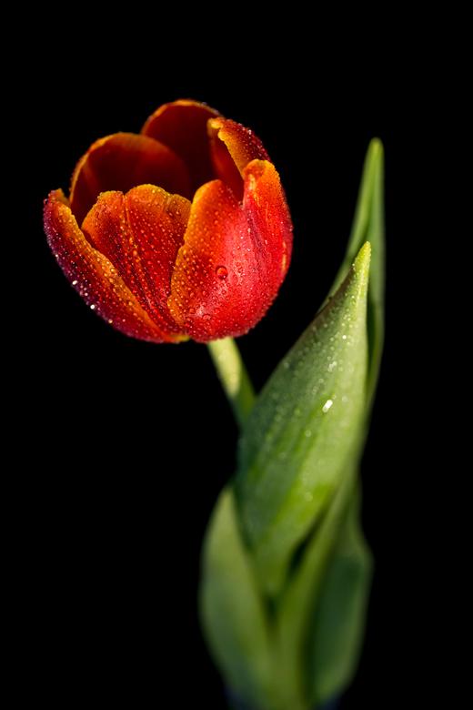 Tulp met waterdruppels