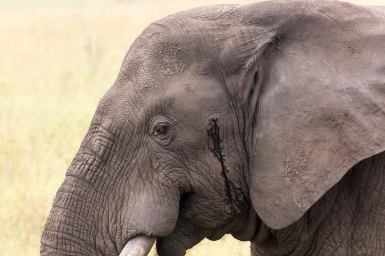 Bulls Eye! - Een vreedzame foto van een opgelaten afrikaanse mannetjesolifant.