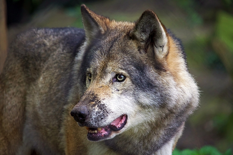 Europeese Wolf -