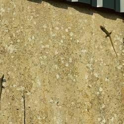 Foto van twee hagedissen die tegen een verticale betonnen muur omhoog klimmen.