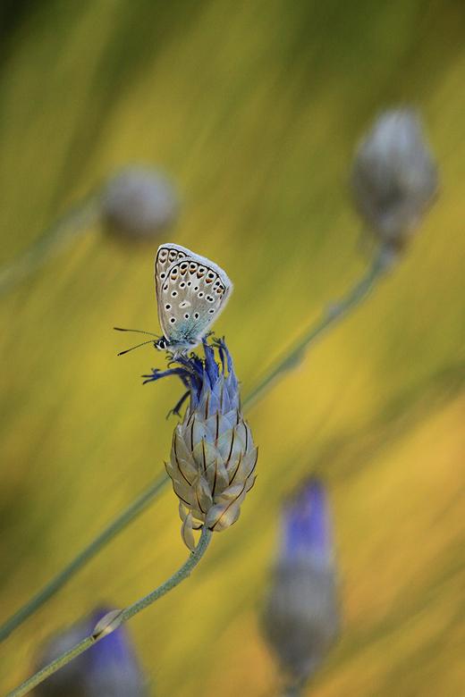 Kroonkruidblauwtje  - Kroonkruidblauwtje genietend in het avondzonnetje.
