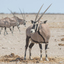 The King of the desert (gemsbok)