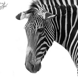 depressed zebra