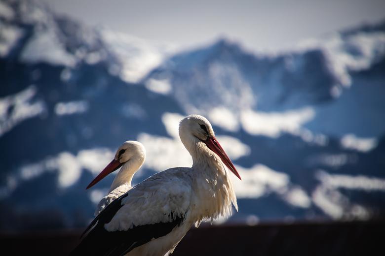 Ooievaars in de sneeuw - In de Zwitserse Alpen zorgen ze het hele jaar door goed voor hun Ooievaars