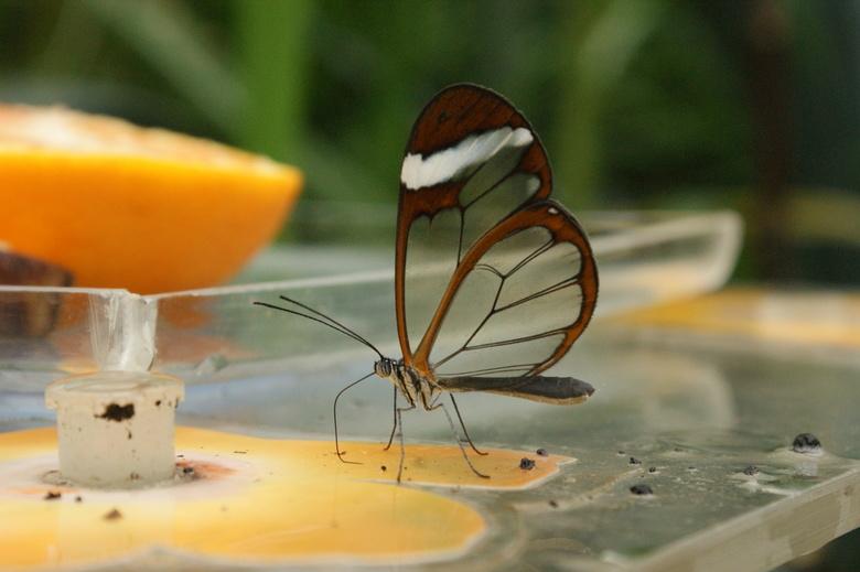 Glasvleugelvlinder