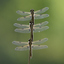 Drie Viervlek Libelle