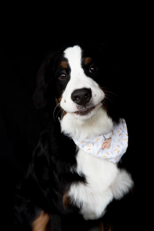 toulouse-8 - Toulouse is een Berner Sennen pup van 6 maand. Ze is een heel speelse pup met een eigenwijs karakter.