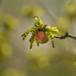 Voorjaar... eikenboom