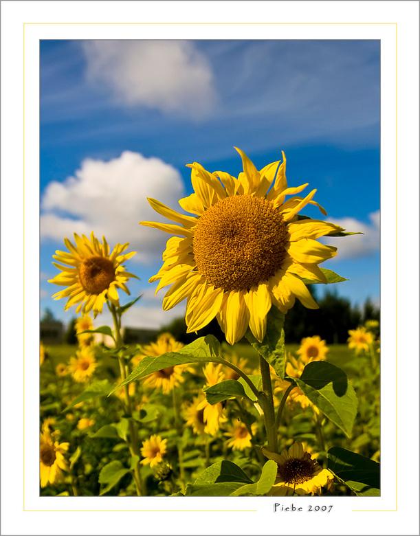 Vleugje zomer - Deze foto heb ik vanmiddag (6 september) gemaakt in Almere Buiten. Ik reed daar toevallig langs en zag een perkje zonnebloemen. Het zi