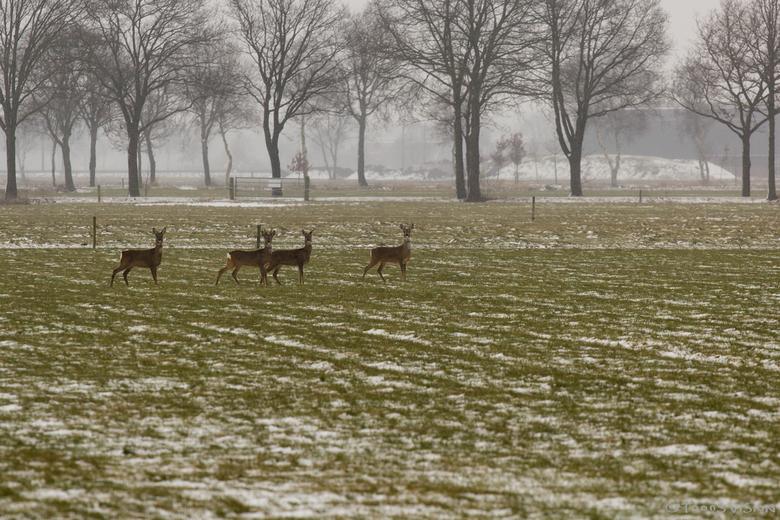 All Freeze - Aantal Reeën betrapt in het veld.