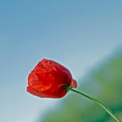 Klaproos in volle bloei