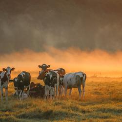 Koeien in licht van goud