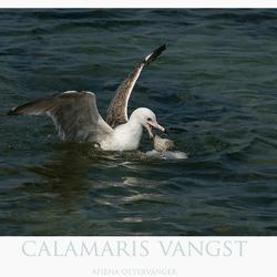 Calamaris duiker