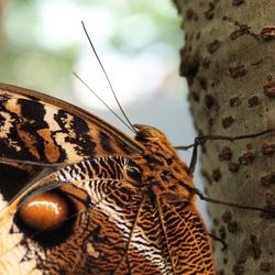 Vlinder Artis
