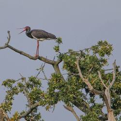 Black Stork in a tree