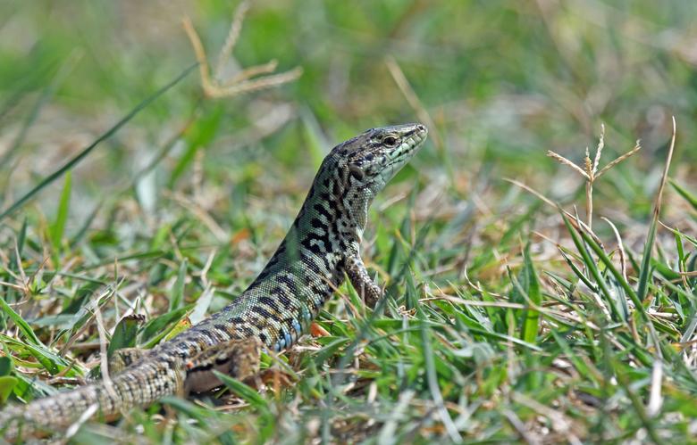 mini-draak - Ik heb dit voorjaar komodovaranen gefotografeerd in Bioparc Fuengirola. De muurhagedis is met 15 tot 20 cm veel kleiner dan de Komodo-dra